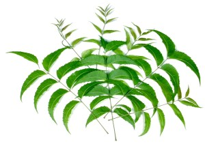 neem_leaves