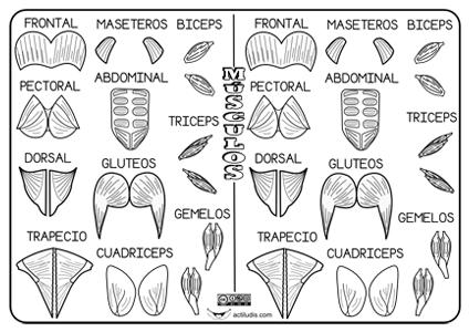 Músculos del cuerpo - Actiludis