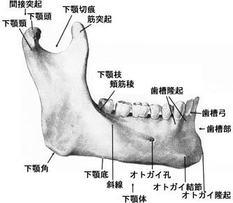 1,Mandibula(下顎骨)Mandible