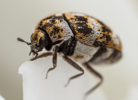 Carpet Beetle Identification Guide