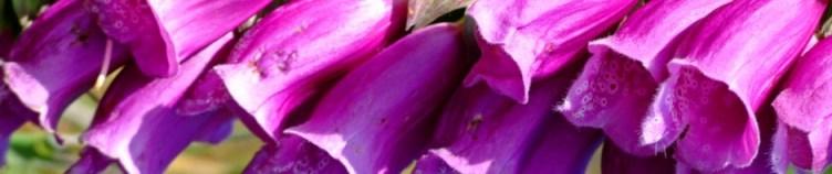 cropped-foxglove3