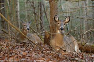 deerbed