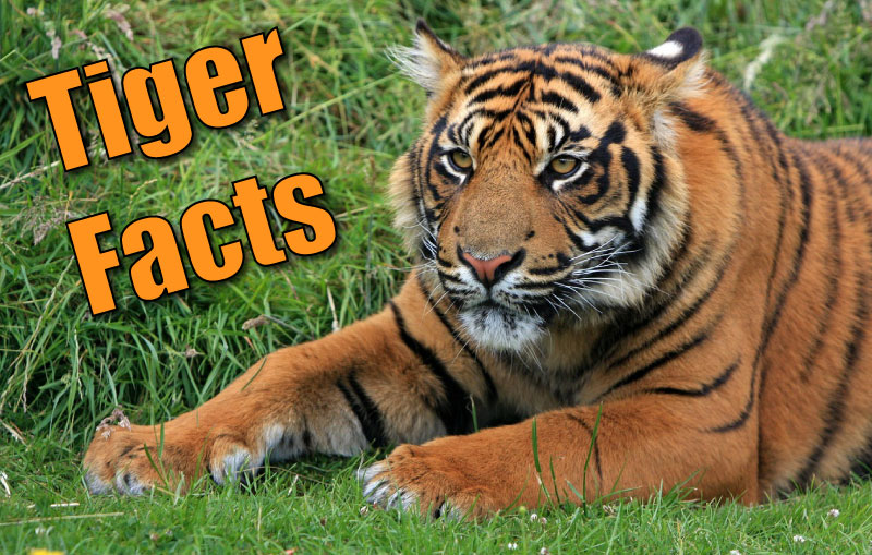 Tigers Facts For Kids  Adults Pictures Video InDepth