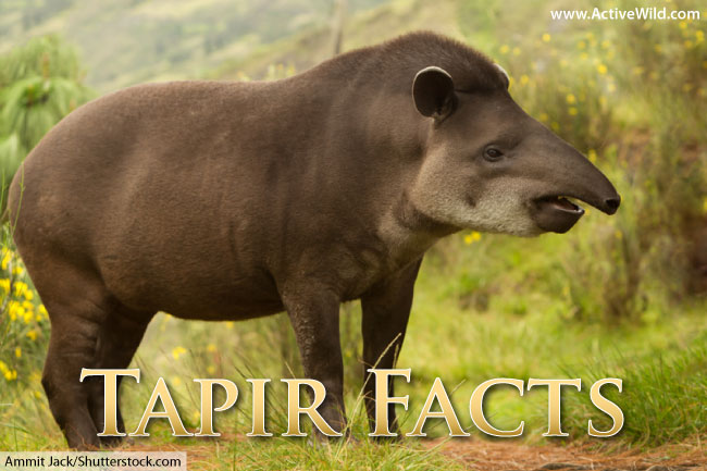 Tapir Facts Pictures  Video Learn About This Rare