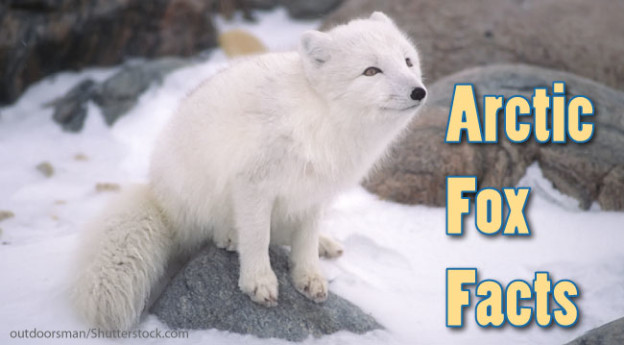 arctic fox food chain diagram 17th edition consumer unit wiring facts information for kids habitat adaptations
