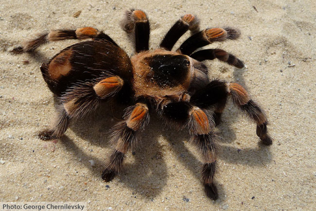 Mexican Redknee Tarantula Facts For Kids  Adults Pictures Information  Video