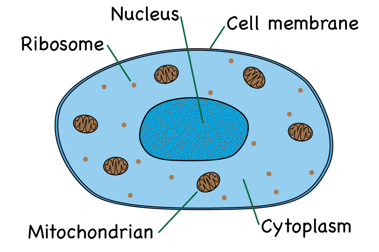 hight resolution of parts of an animal cell diagram