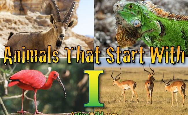 Animals That Start With I List With Pictures Facts Information