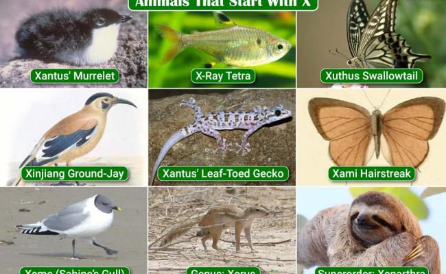Animals That Start With X List Of Amazing Animals Beginning With X