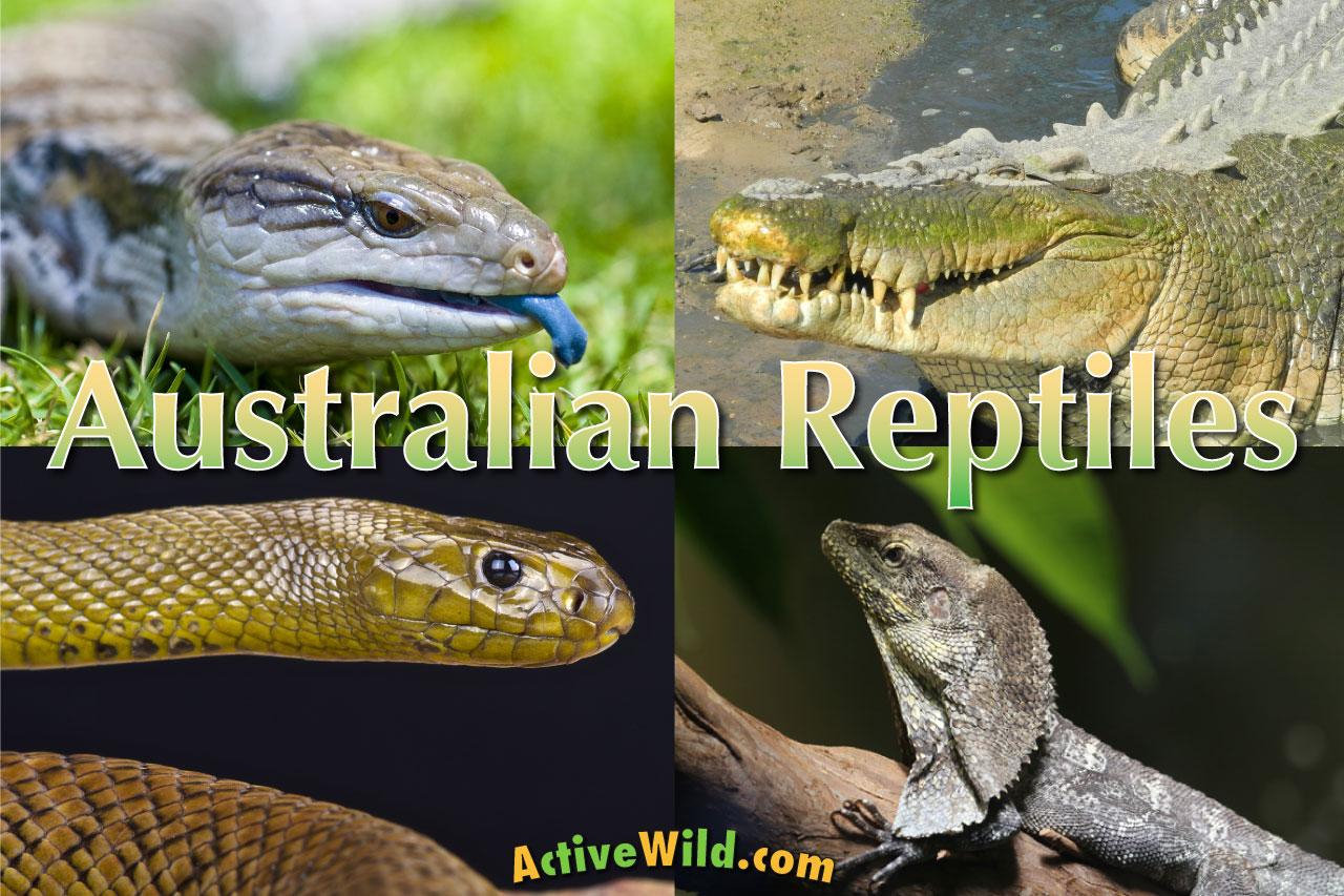 Australian Reptiles List Pictures Amp Facts Amazing