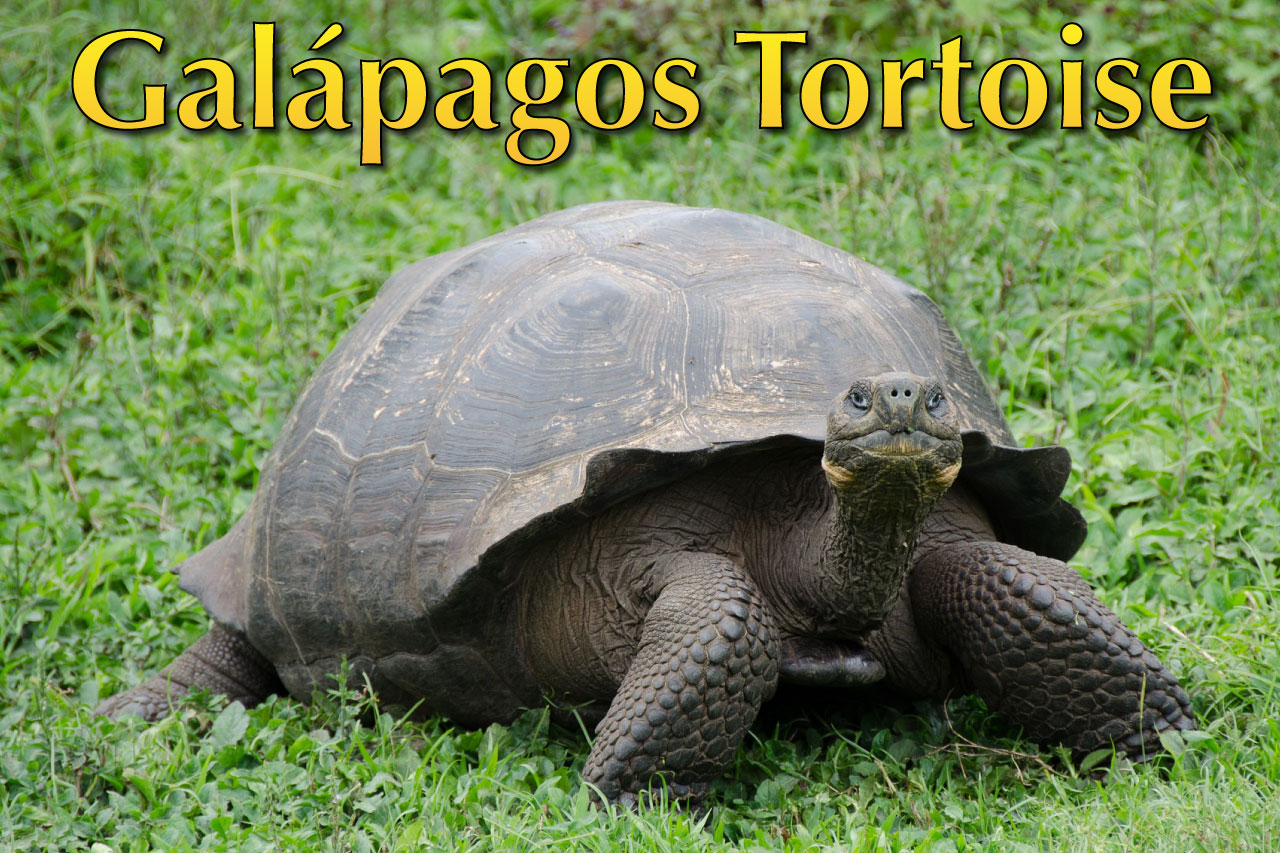 Galapagos Tortoise Facts Pictures Amp Video The World S Largest Tortoise