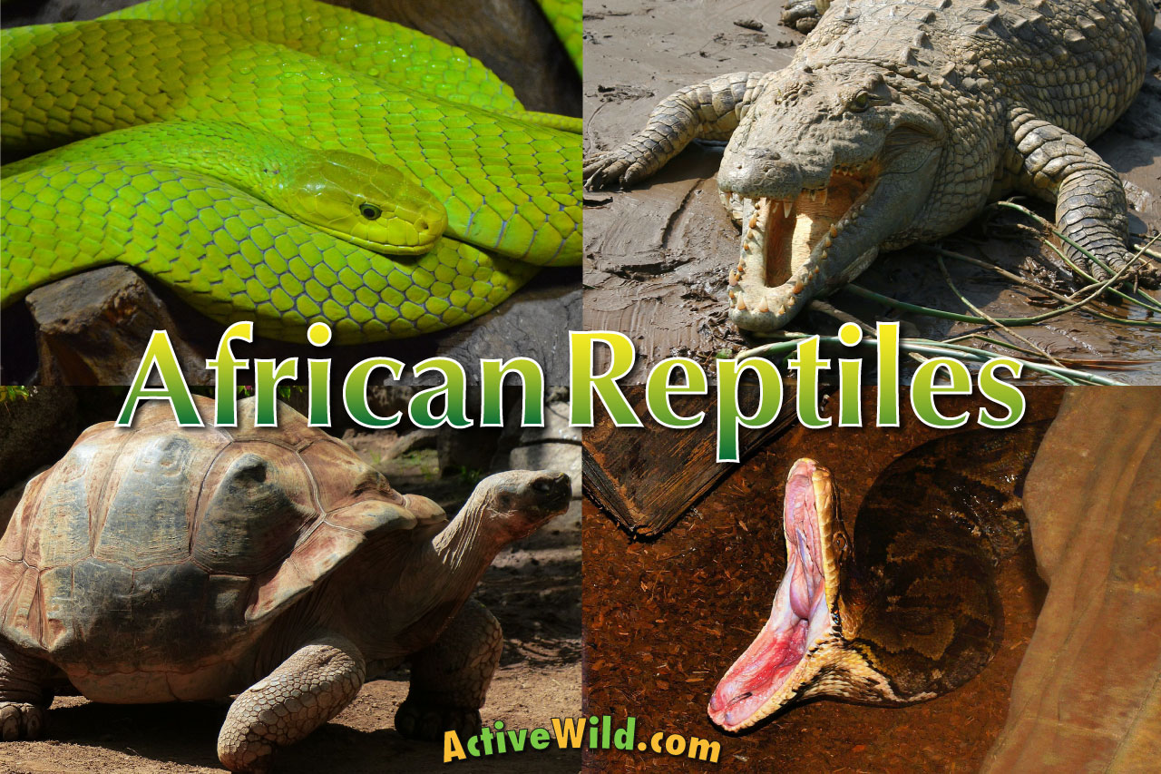 African Reptiles List Pictures Amp Facts Amazing Reptiles