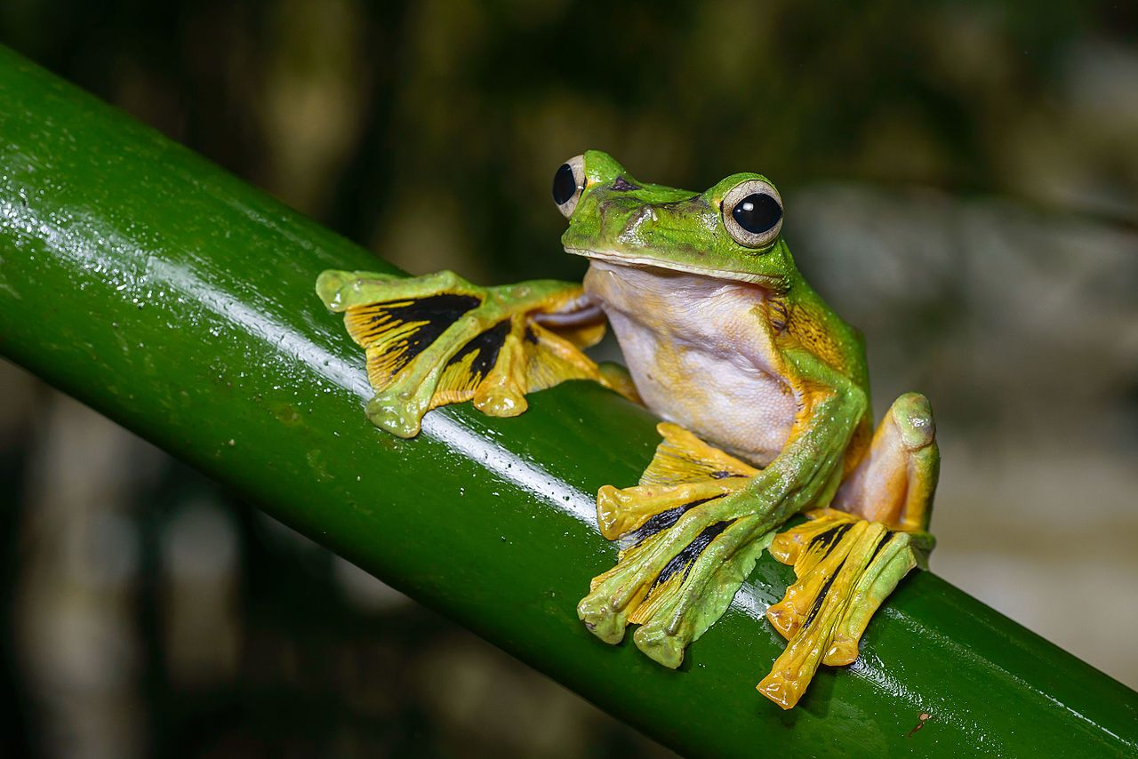 Wallace S Flying Frog Facts Picture Video Amp In Depth