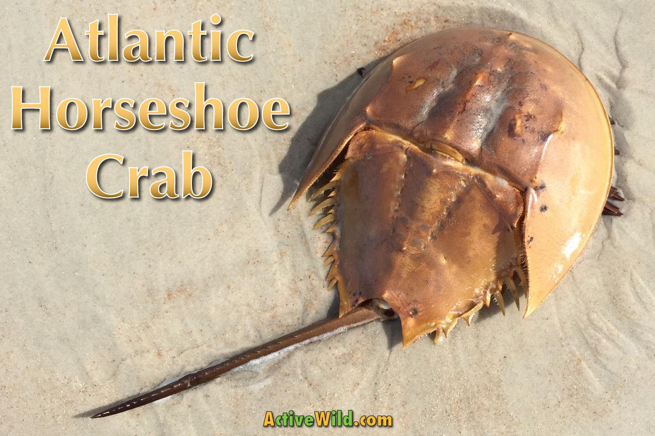 Atlantic Horseshoe Crab Facts Pictures Video Amp In Depth
