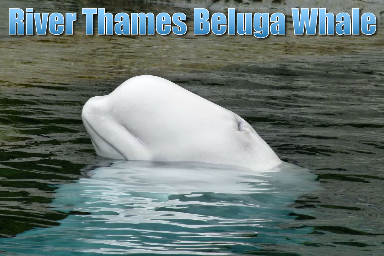 Beluga Whale In The Thames An Arctic Marine Mammal Seen