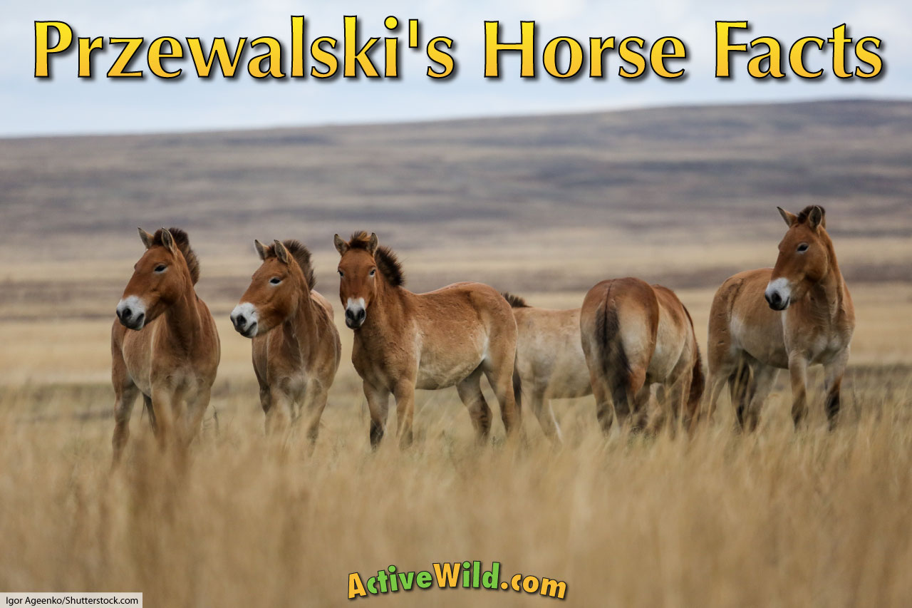 Przewalski S Horse Facts Pictures Amp Information