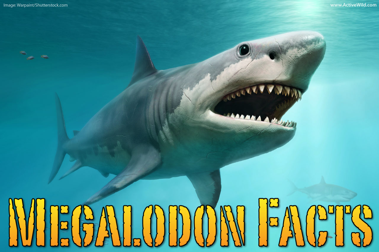 Megalodon Facts For Kids Amp Adults The World S Biggest Ever Shark