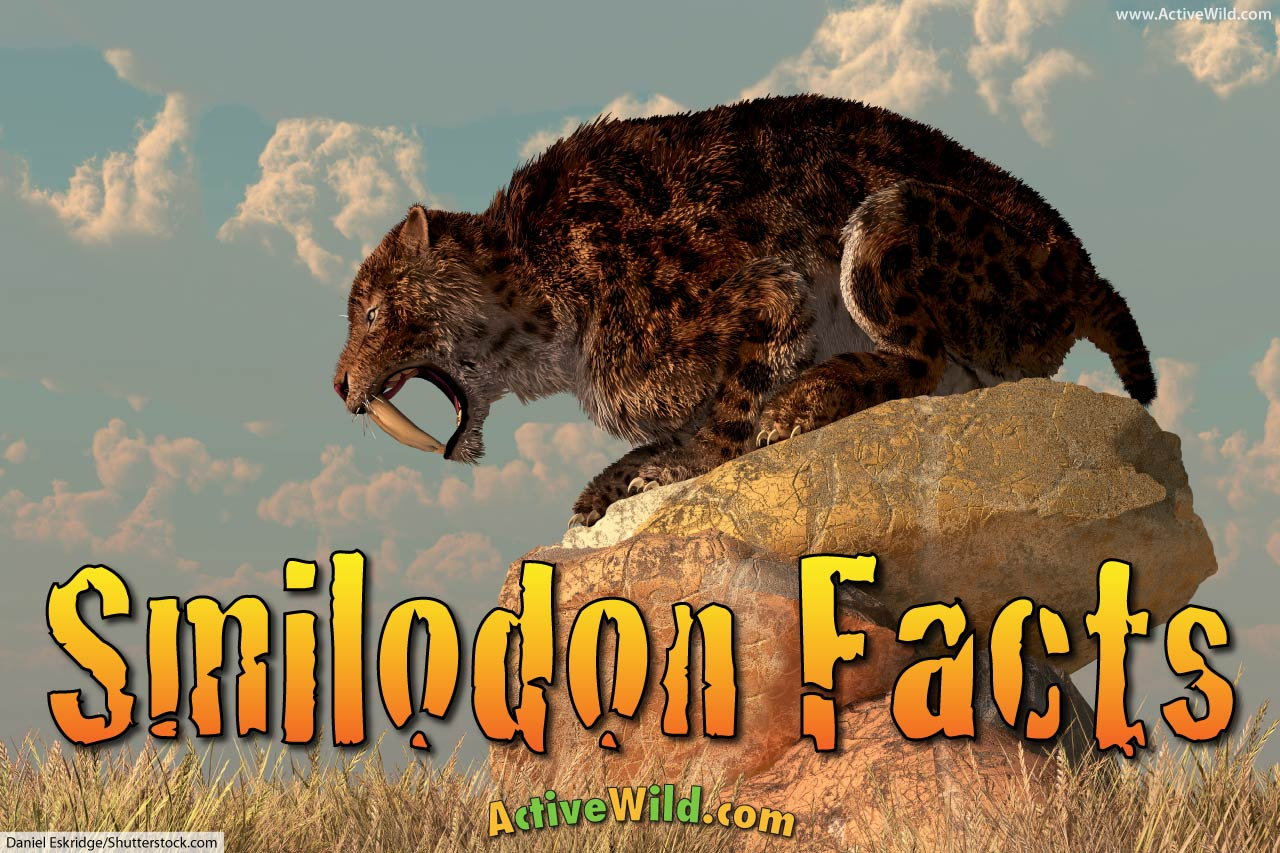 Smilodon Facts For Kids Amp Adults Prehistoric Animal Info