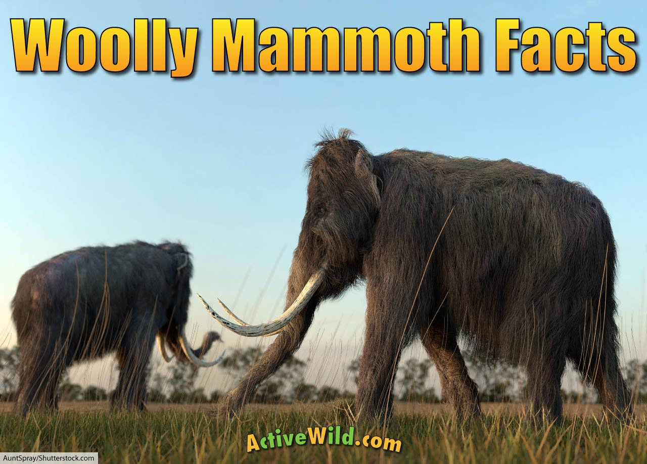 Woolly Mammoth Facts For Kids Amp Adults Meet A Famous Ice