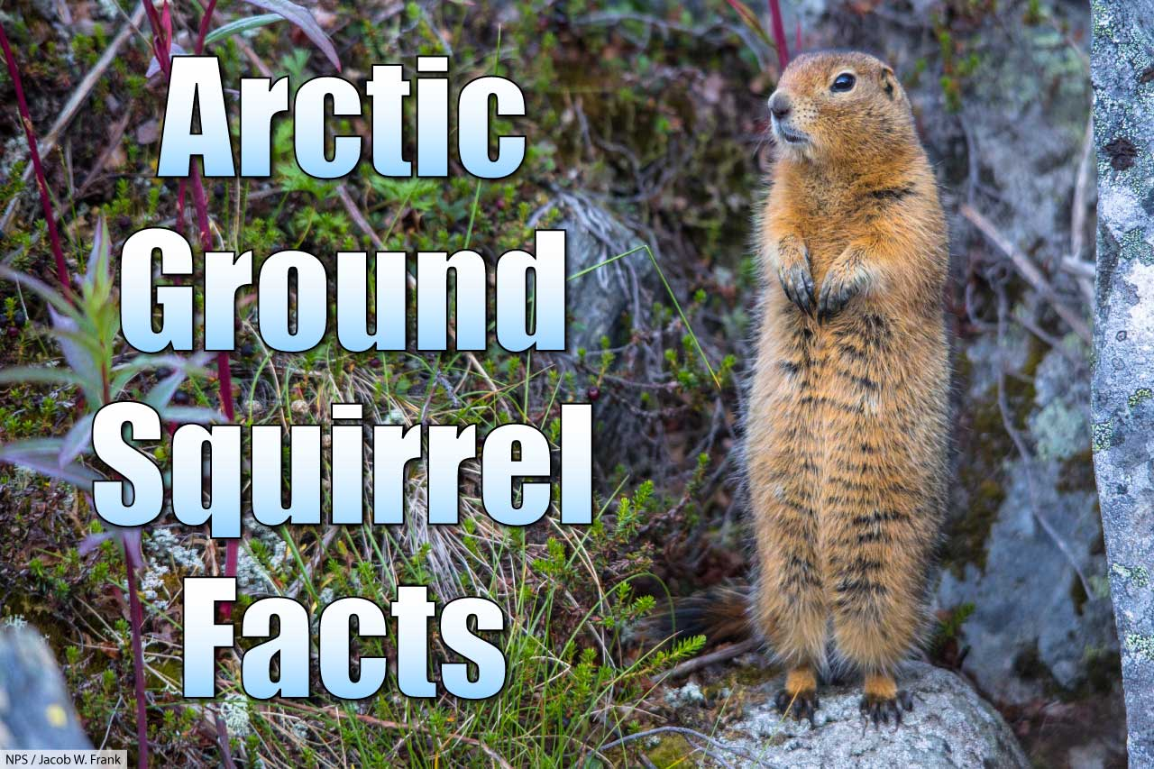 Arctic Ground Squirrel Facts Pictures Amp Information