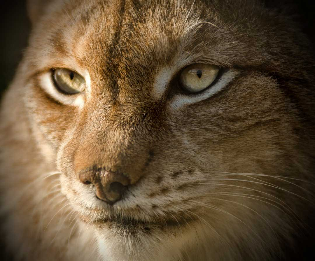 Eurasian Lynx Facts Pictures Video Amp In Depth Information
