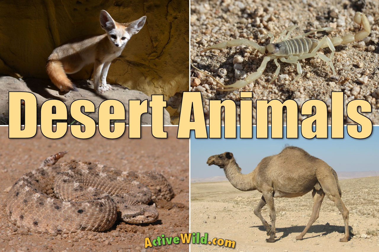 Desert Animals For Kids List With Pictures Amp Facts Desert Adaptations