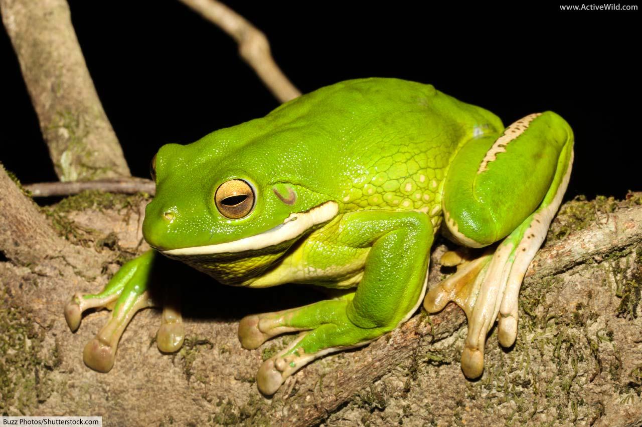 White Lipped Tree Frog Australian Giant Tree Frog Facts