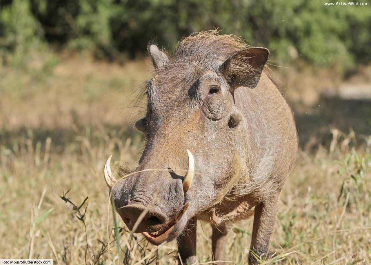 Common Warthog Facts Pictures Video Amp In Depth Information