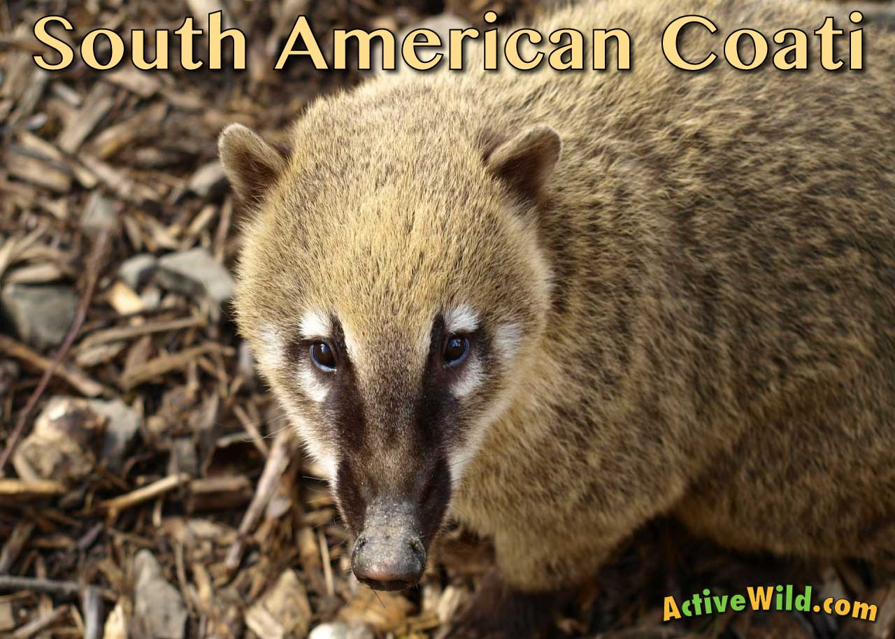 South American Coati Facts Pictures Video Amp Information