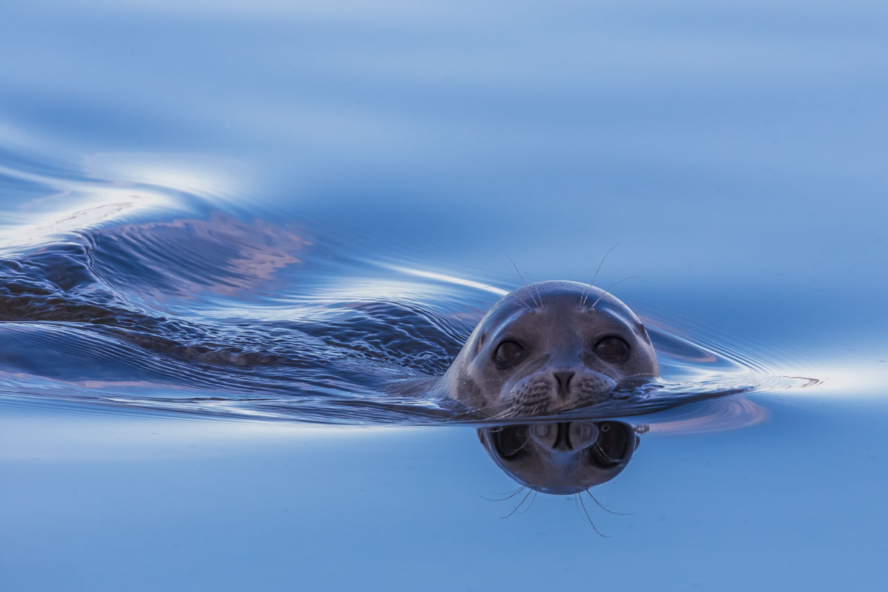 Ringed Seal Facts Pictures Amp Information Discover A