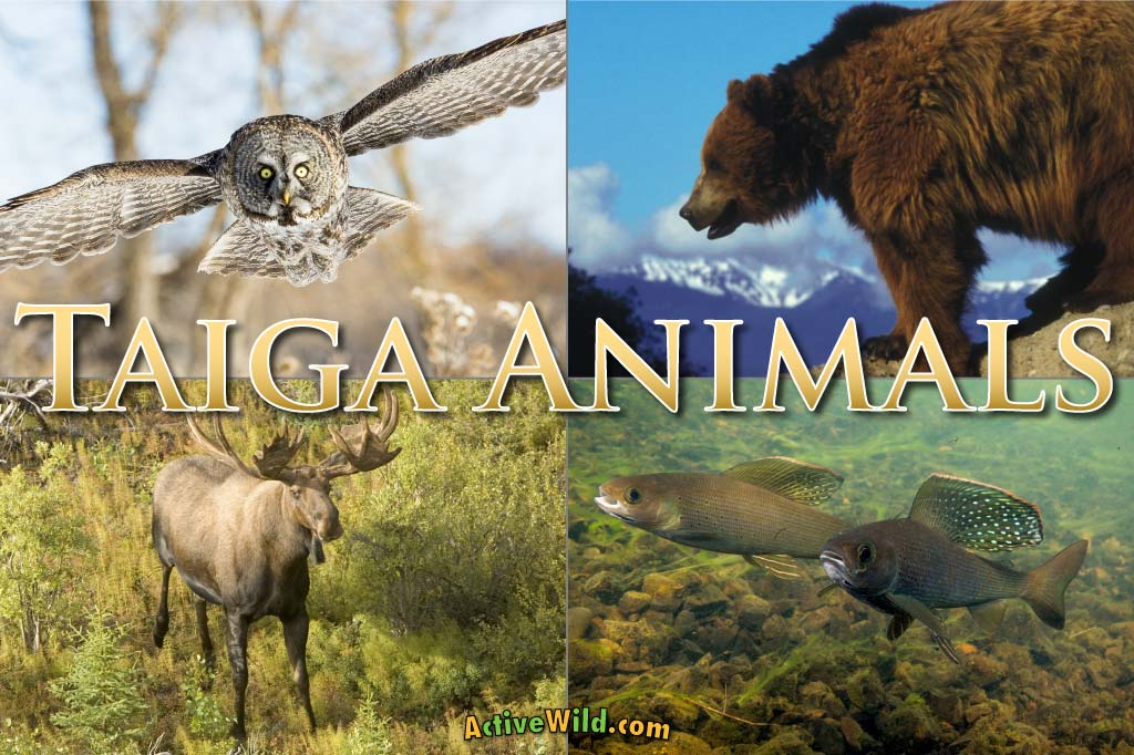 The canadian lynx is naturally a slower animal so its hunting tactic is to ambush its prey. Taiga Animals List Of Animals That Live In The Taiga Biome With Pictures