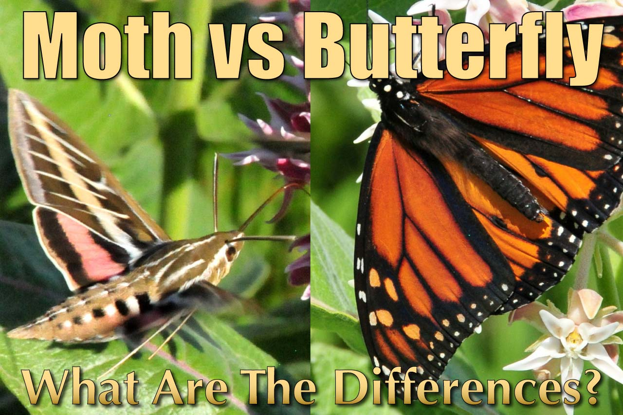 Difference Between Moth And Butterfly Moth Vs Butterfly Facts Amp Pictures