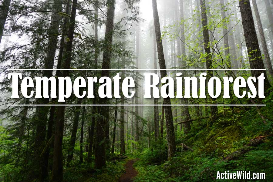 Another type, temperate coniferous forests, grows in lower latitudes of north america, europe, and asia, in the high elevations of mountains. Temperate Rainforest Biome Facts Pictures Information