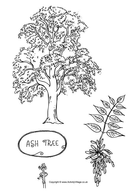 Ash Tree Colouring Page