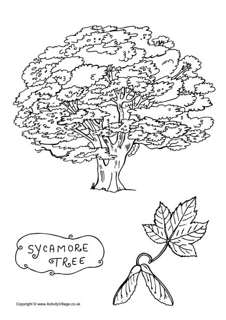 Sycamore Tree Colouring Page