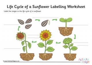 Sunflower Life Cycle Labelling Worksheet  Guided