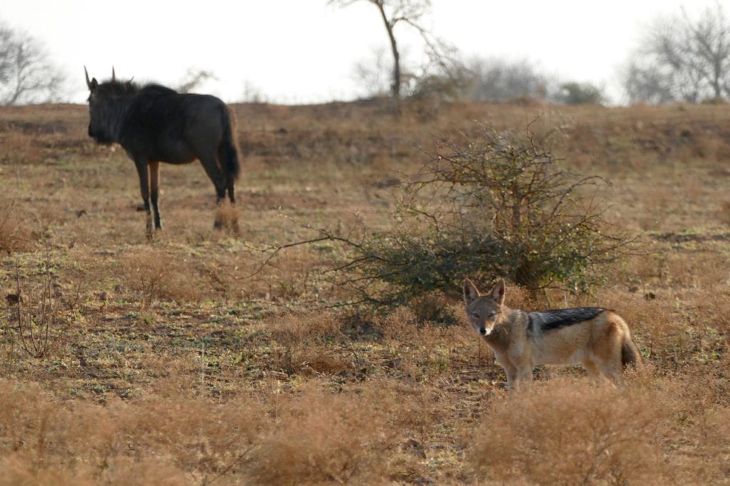 Fox and wildebeest