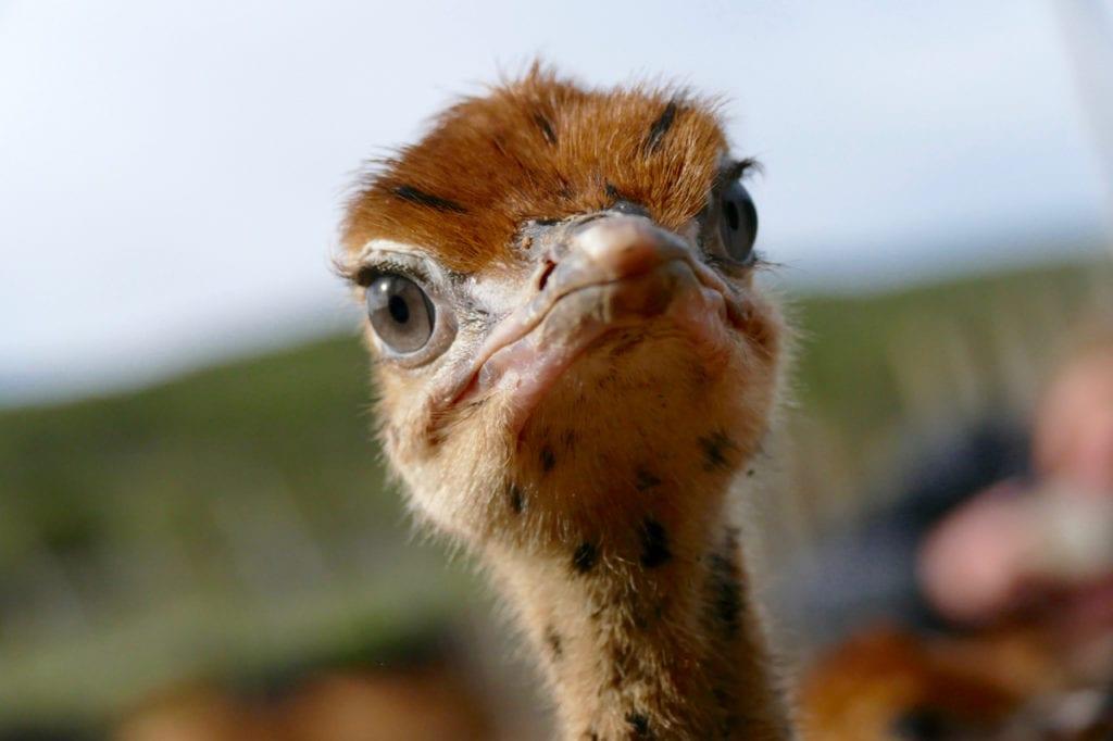 Ostrich young closeup