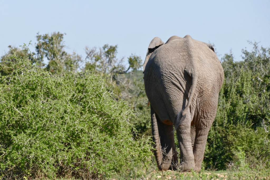 Elephants at Addo park South Africa