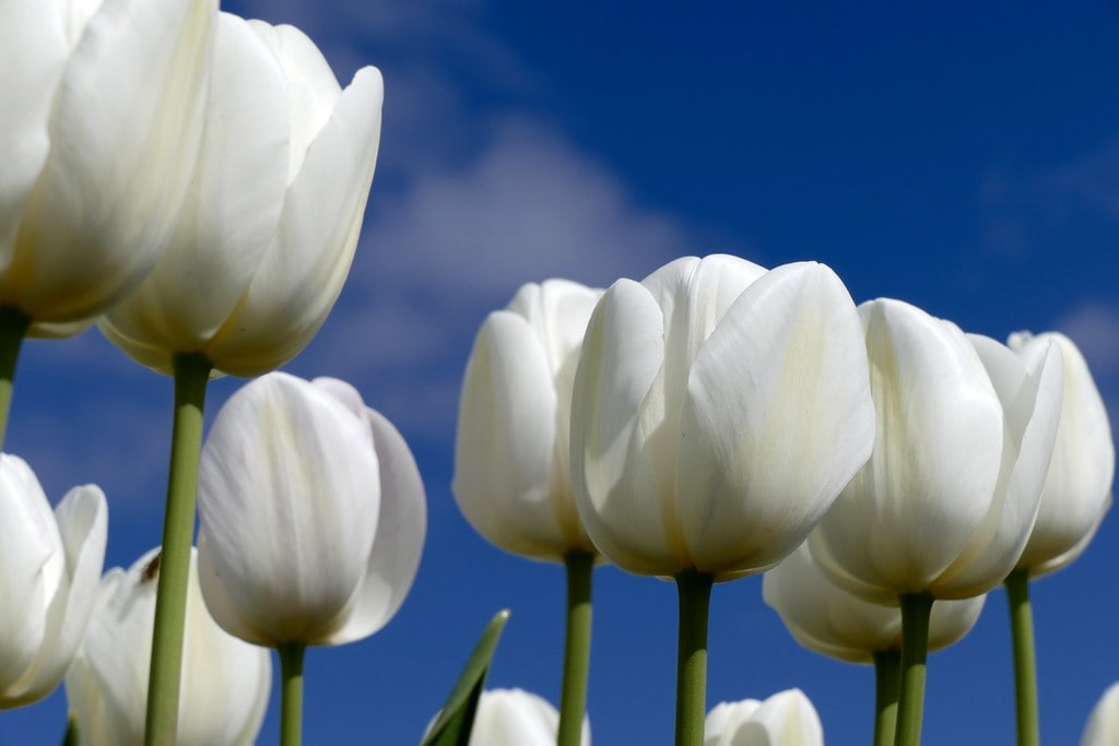 Close-up from white tulips