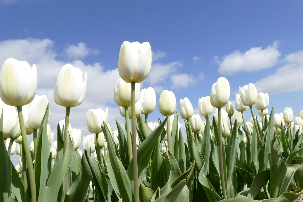 White tulips with clouds