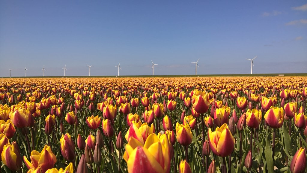 Field with yellow-red tulips