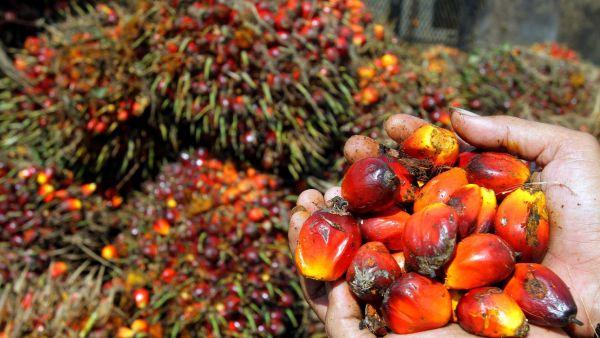 le-ministre-allemand-de-l-agriculture-a-appele-mercredi-l-industrie-allemande-a-cesser-l-importation-d-huile-de-palme-non-certifiee_5461472