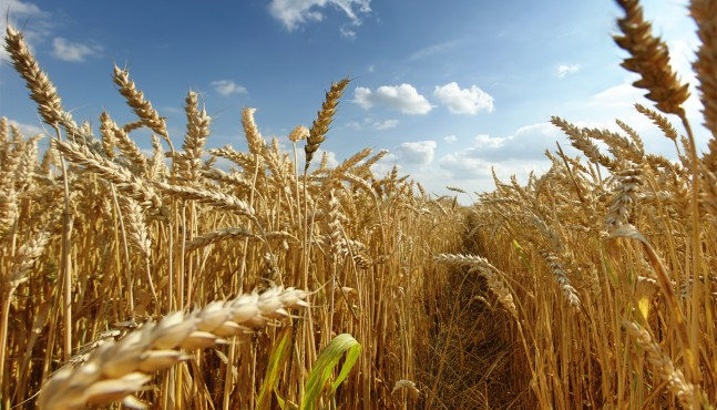 Les intempéries auront eu raison des récoltes de blé
