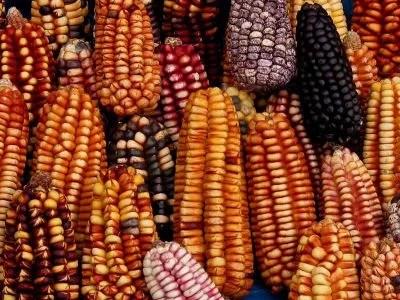 400px-Maiz_choclo_peruano_gastronomia
