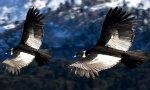 condor-andino_.pirwahostelscusco