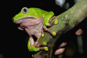 Yaguas alberga 1420 especies de animales vertebrados, muchos de los cuales están amenazados o son endémicos (no encontrados en otras partes de la selva). Foto: Álvaro del Campo – Field Museum