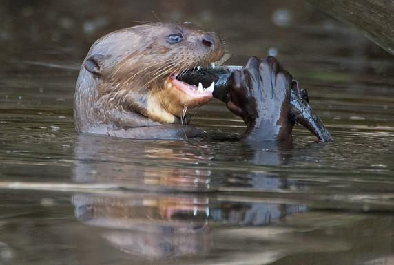 El lobo de río es una de las especies emblemáticas de la Reserva Nacional Tambopata. Foto: Sernanp