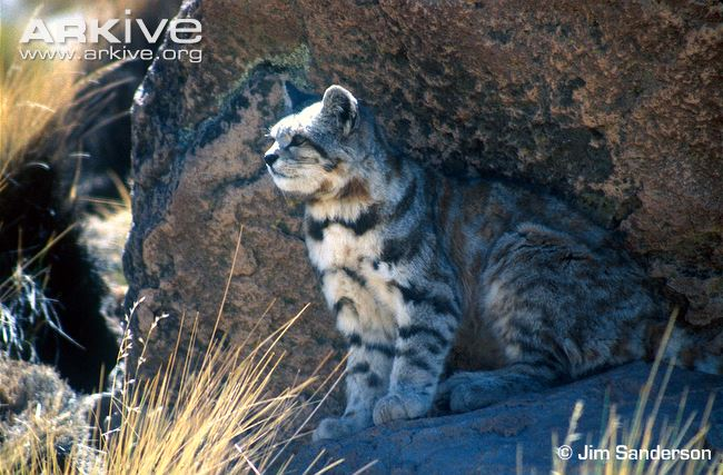 andean-cat-sitting-in-shade