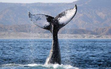 ¡Ballena a la vista! Julio y octubre son ideales para quienes quieren observar estas impresionantes criaturas. Los visitantes que llegan al Banco de Máncora, ubicado en el Mar Pacífico Tropical, se convierten en testigos de uno de los más grandes espectáculos de la naturaleza: Gigantescas ballenas jorobadas que arriban para aparearse. Esta zona es el hogar de 12 de las 30 especies de cetáceos que hay en el Perú. Foto: Pacifico Adventures
